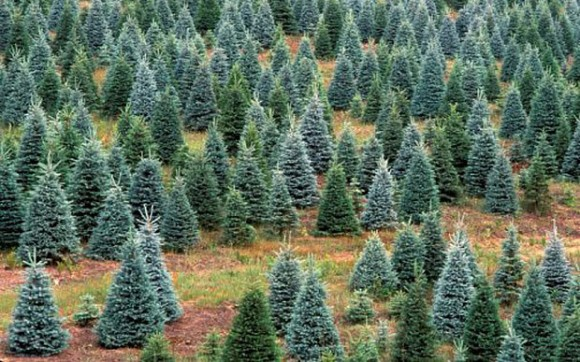 Finding locally sourced Christmas Trees.