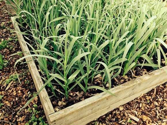 garlic-in-wooden-raised-vegetable-beds
