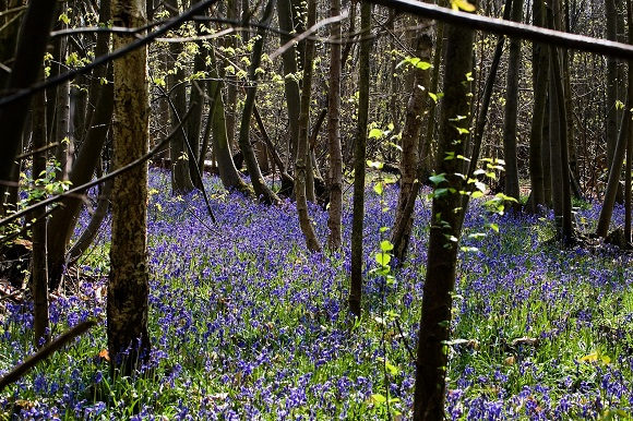 bluebells-in-woodland