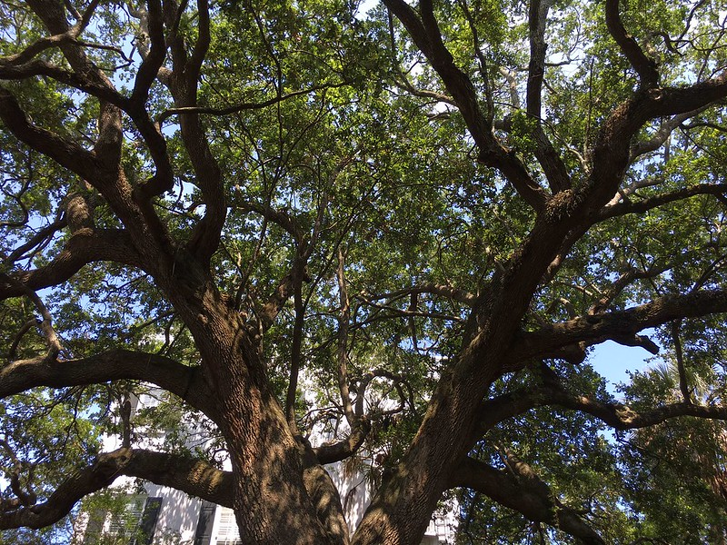 Majestic-oak-and-shadow