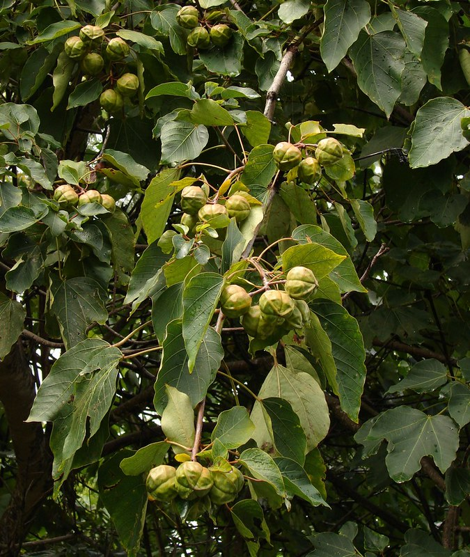 tung-tree