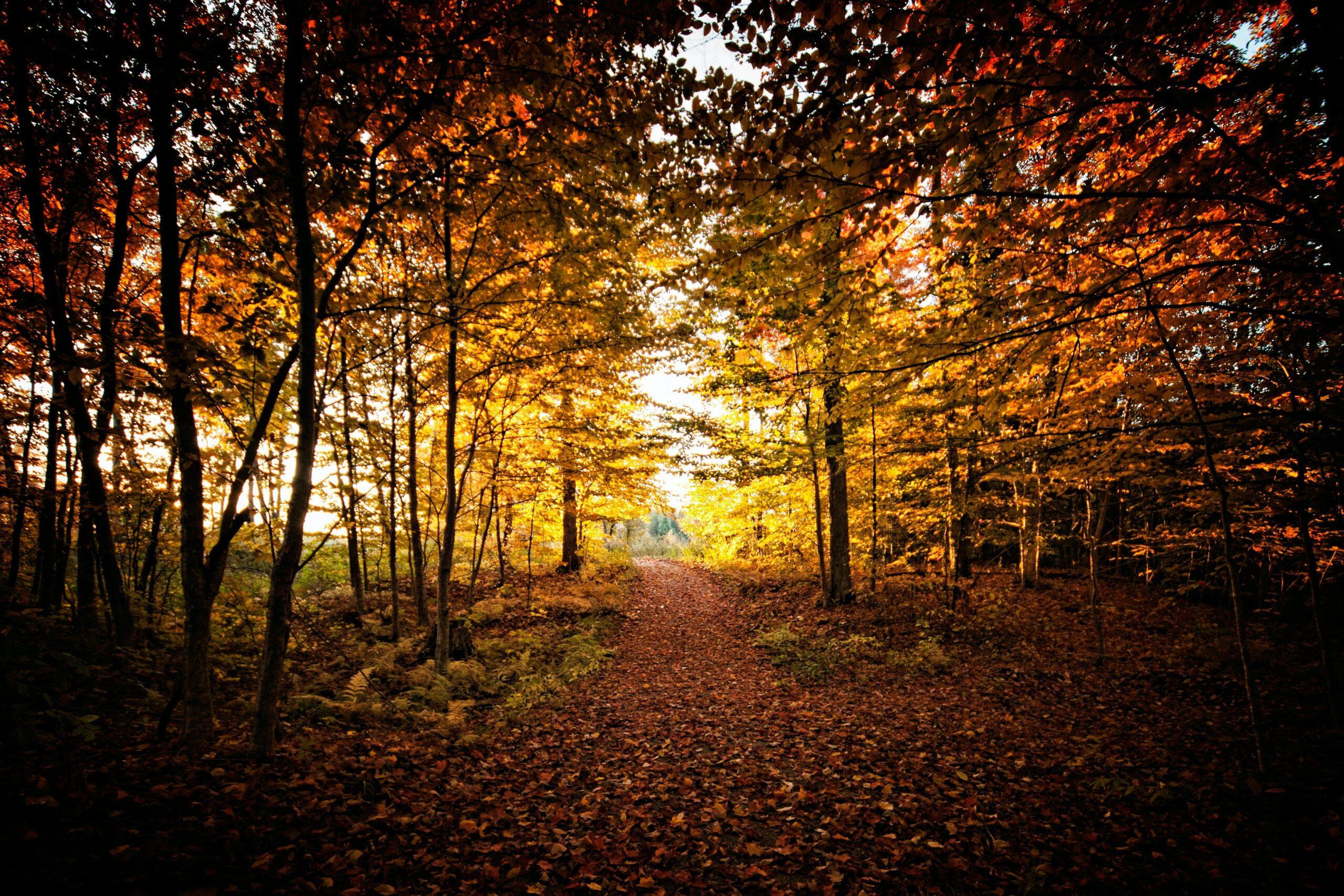 maple-trees