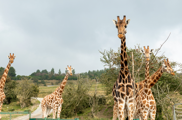 wfd-port-lympne-giraffe